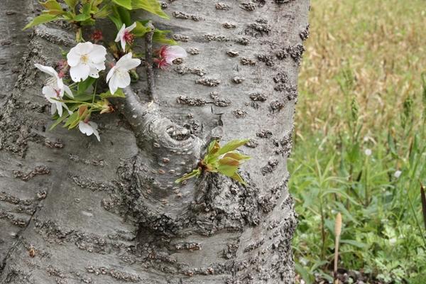 つくしと桜