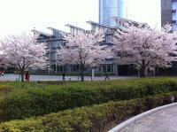 桜とヒルズ
