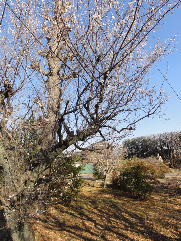 巨木と梅ノ木