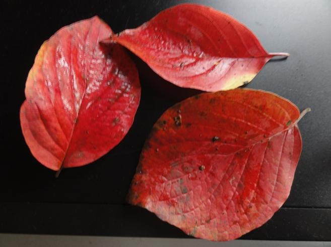 紅葉のハナミズキ落ち葉
