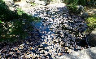 池に浮かびし散り桜