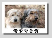 サプサル犬
