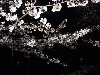 北公園の夜桜