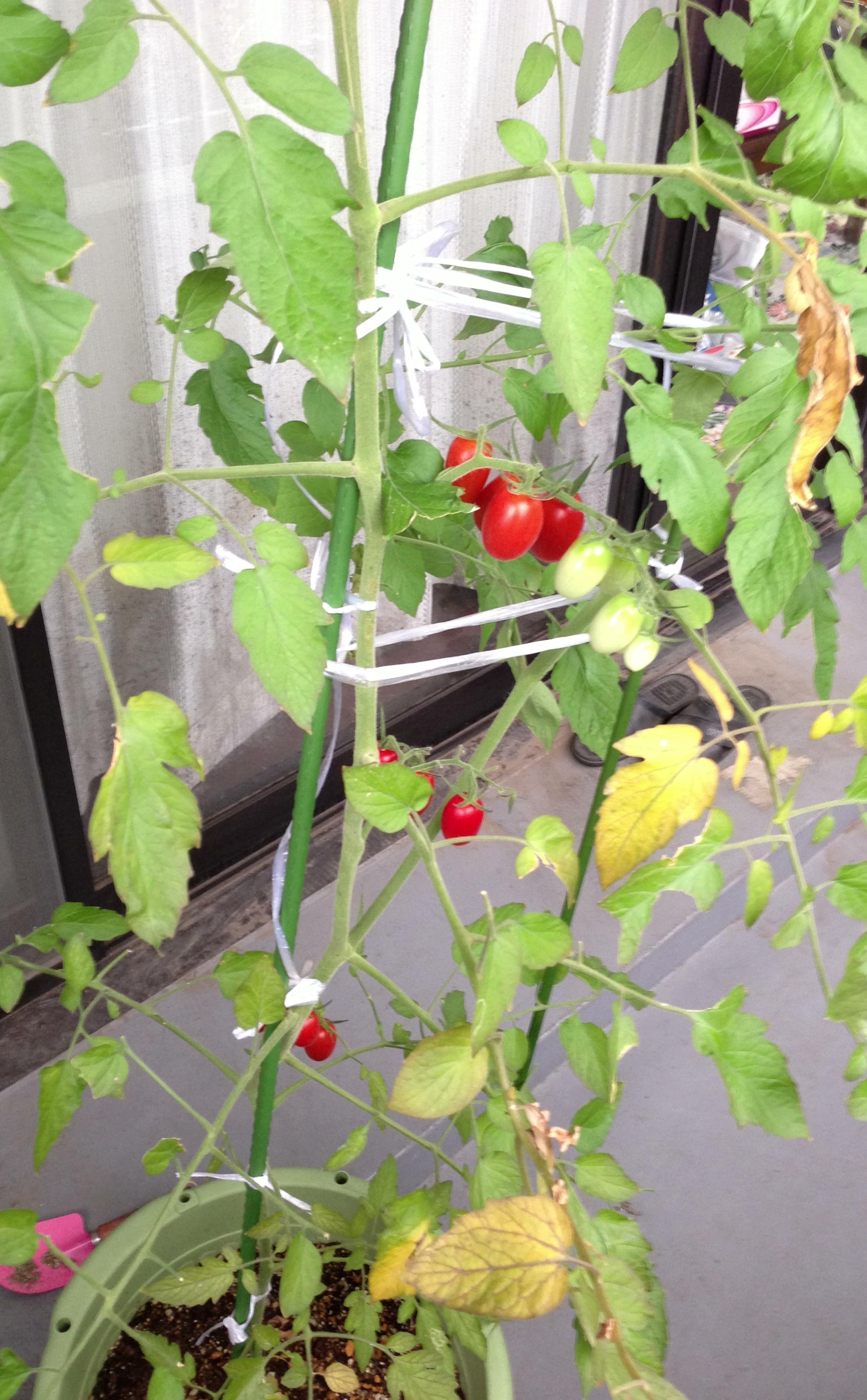 ミニトマト引き