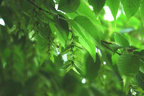 110520 木の穂