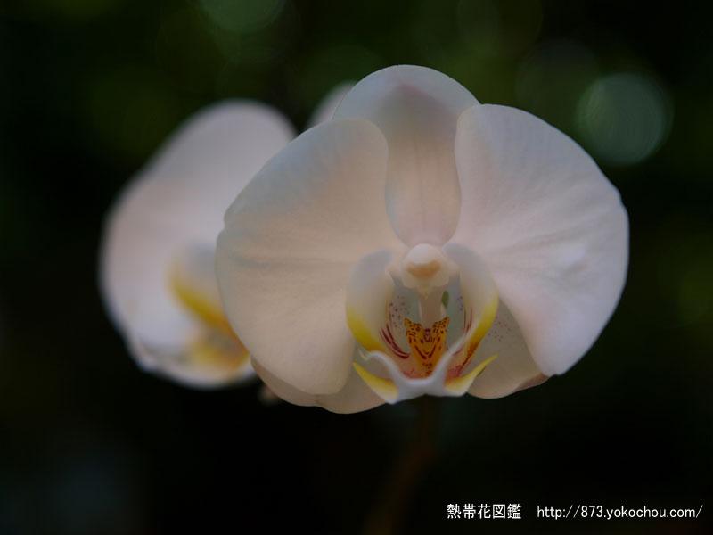 胡蝶蘭「東京ドーム」