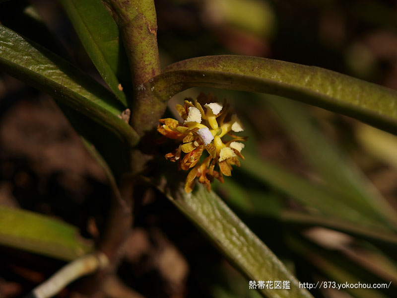 森の蘭 アカンペ