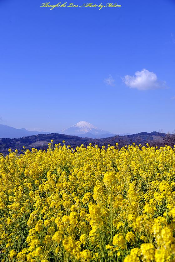 菜の花と富士山3