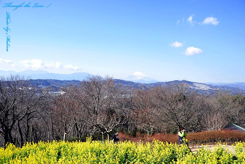 菜の花と富士山1