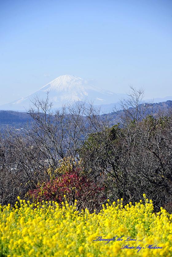 菜の花と富士山10