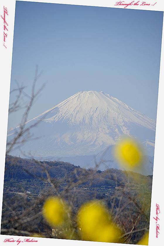 菜の花と富士山8