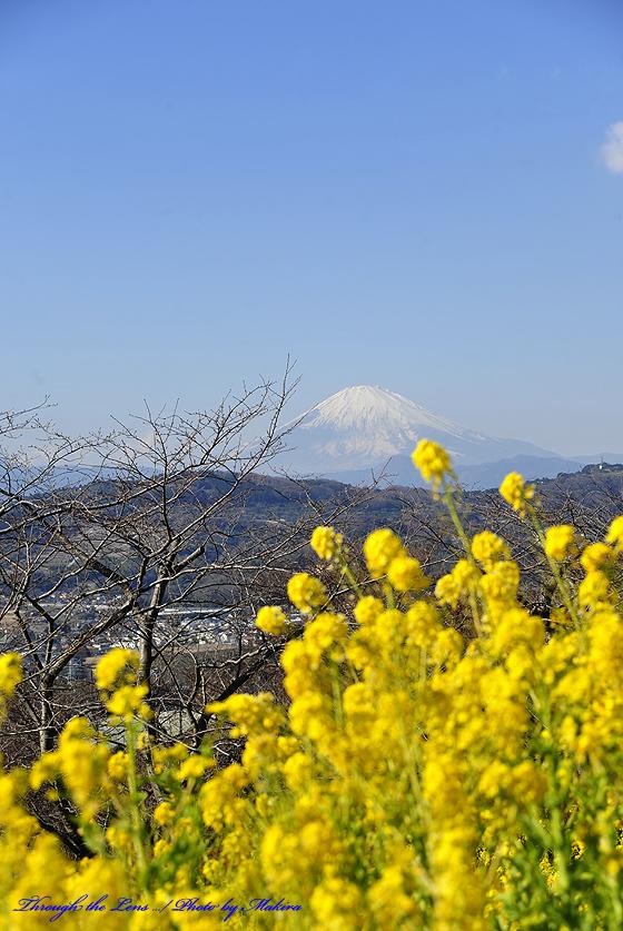 菜の花と富士山7