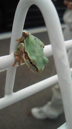 カエルさん・2