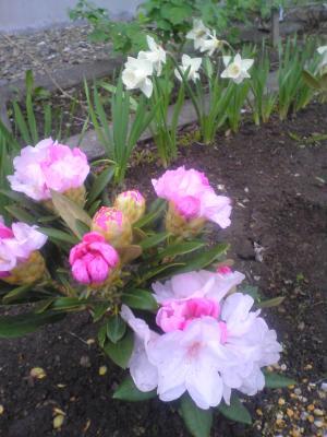 石南花と水仙