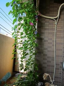 IMG_2681-asagaogu.jpg