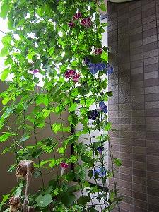 IMG_2712-asagaogu.jpg