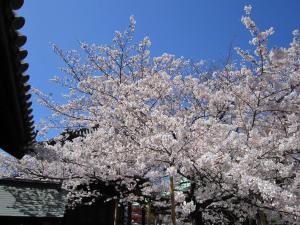 東長寺さくら110404