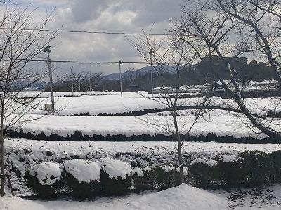 雪の茶園3