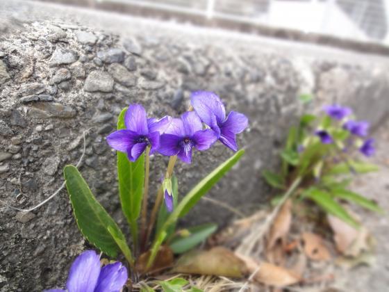 すみれ_convert_20110315162410