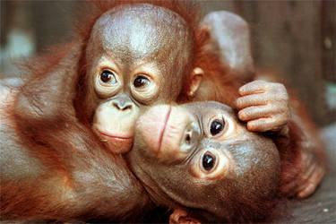 cuddling-baby-orangutan-photo.jpg