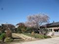H25.12.24四季桜満開@IMG_0381