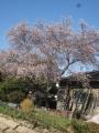 H25.12.24四季桜満開(拡大)@IMG_0383