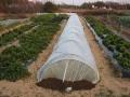 H25.12.31冬野菜の防寒対策@IMG_0461