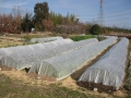 H26.1.3冬野菜の防寒対策@IMG_0498