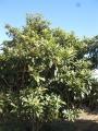 H26.1.10ビワの樹(H3.5m)@IMG_0531