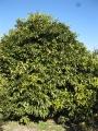H26.1.10グレープフルーツの樹(H3.5m)@IMG_0534