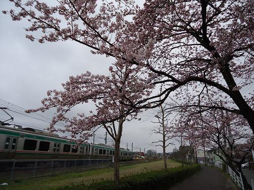 1204saiwaisakura001.jpg