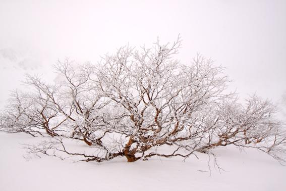 霧氷の花咲くダケカンバ・3
