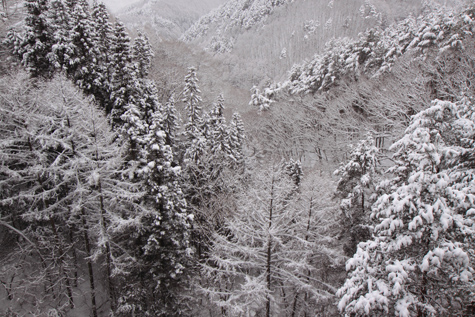 冠雪の樹林