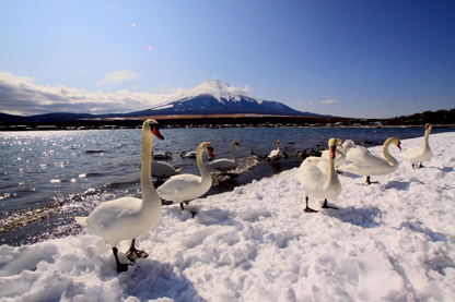 白鳥と山中湖と富士