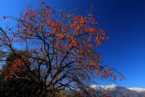 青空に映える柿の実と新雪の峰