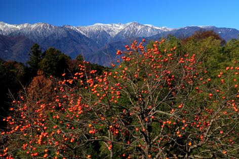 柿の実と宝剣岳新雪