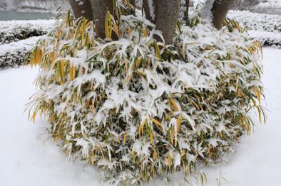 ケヤキの幹を囲むササに雪