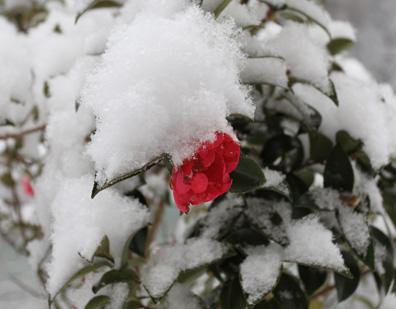 降雪に椿の花一輪