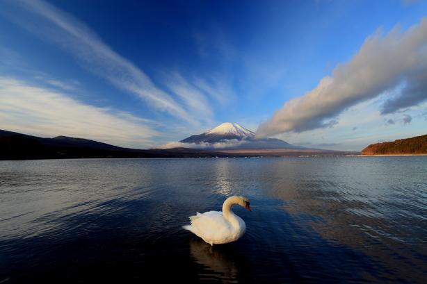白鳥と霊峰富士