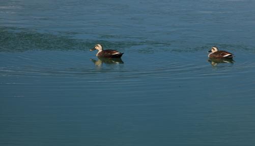 ため池にカモの遊ぶ