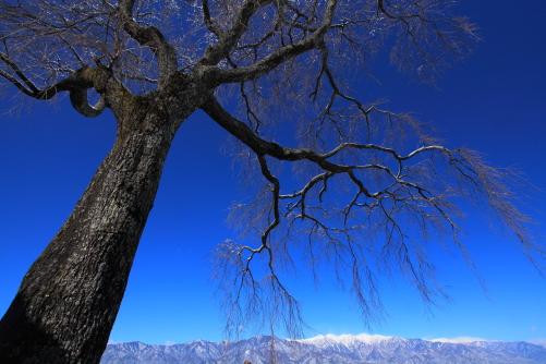 桜の銘木と中央アルプス