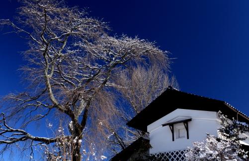 白壁の蔵と氷雨まとう桜
