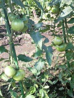 トマト01