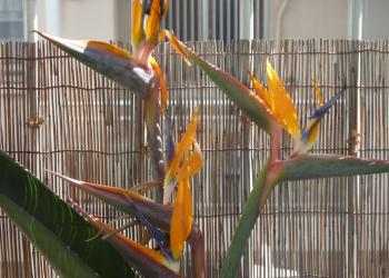 極楽鳥花④