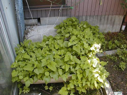 緑のカーテン・朝顔の生育現状2010/6/12