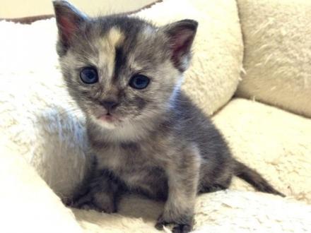 可愛いサビ子猫です