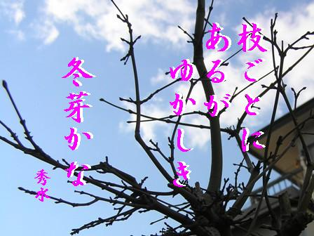 SD冬芽①句入