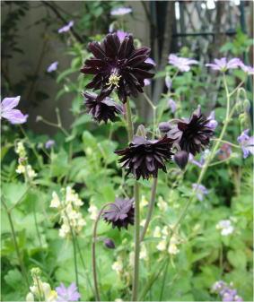 aquiregia black