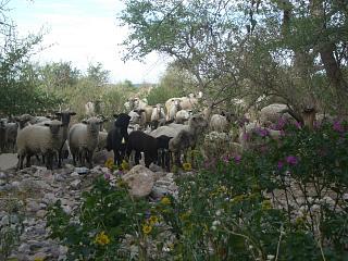 じっと羊320