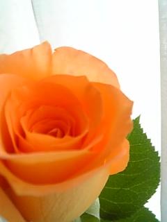 20140101薔薇